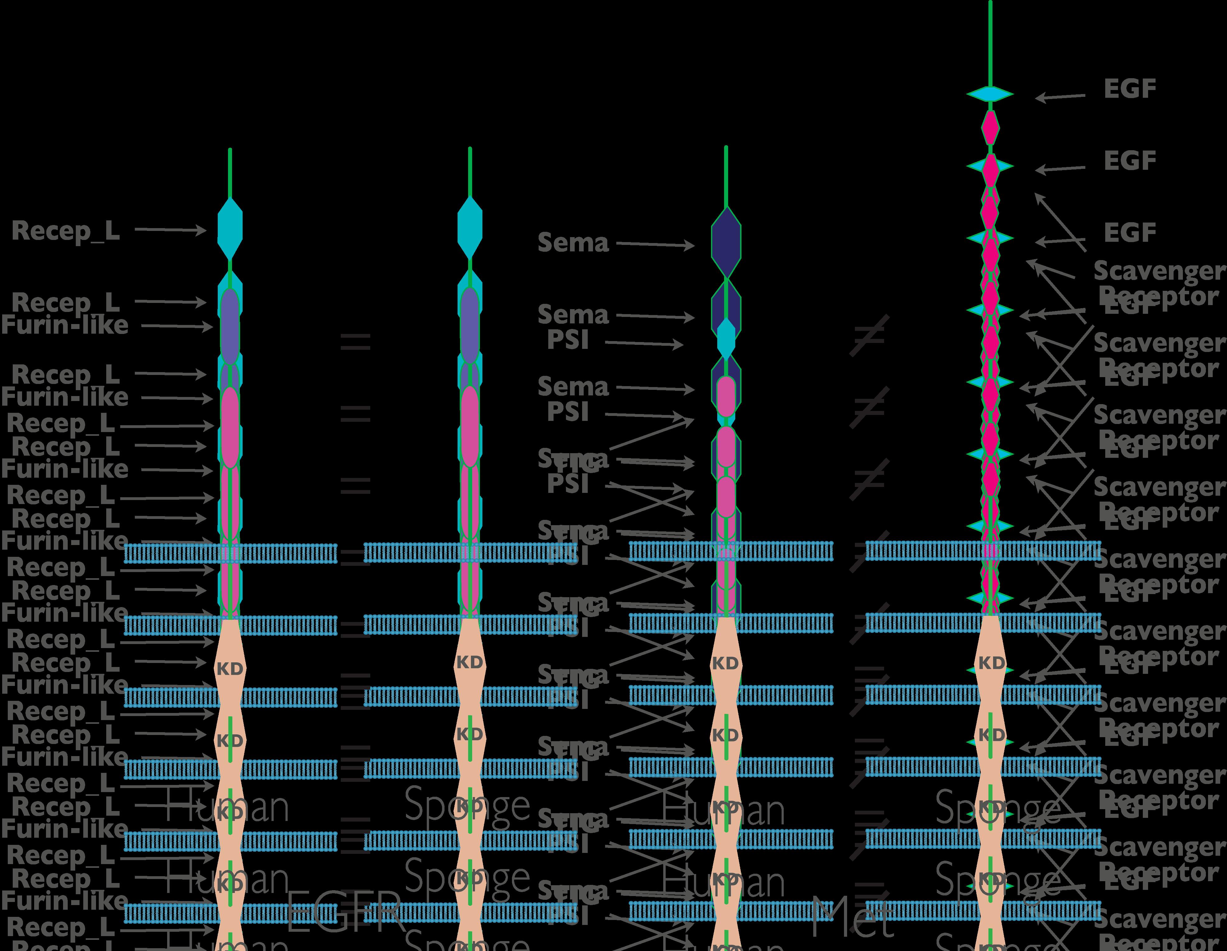 amphimedon queenslandica receptor tyrosine kinase domain structuresTyrosine Kinase Structure
